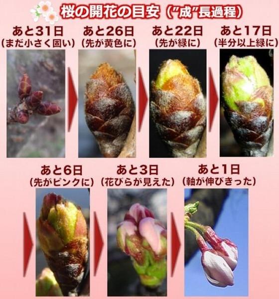 桜の開花目安@ウェザーニューズ