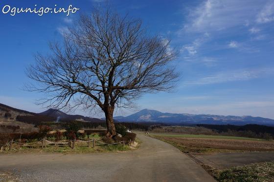 前原一本桜-近景
