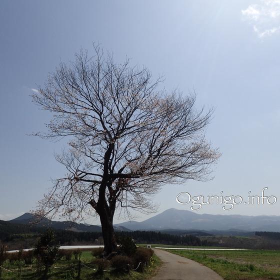 2018年4月3日前原の一本桜 全景